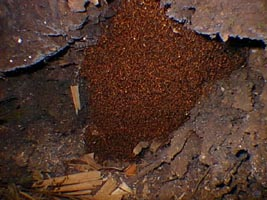 Army Ants Eating Cow anteaters army ants whichArmy Ants Eating Cow